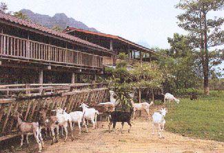 les chèvres de la ferme Vang Vieng