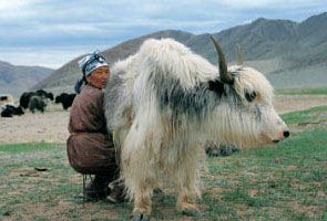 traite de yak